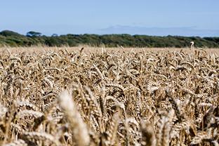 wheat-wheat-field-crops-grain-farm-farm-land